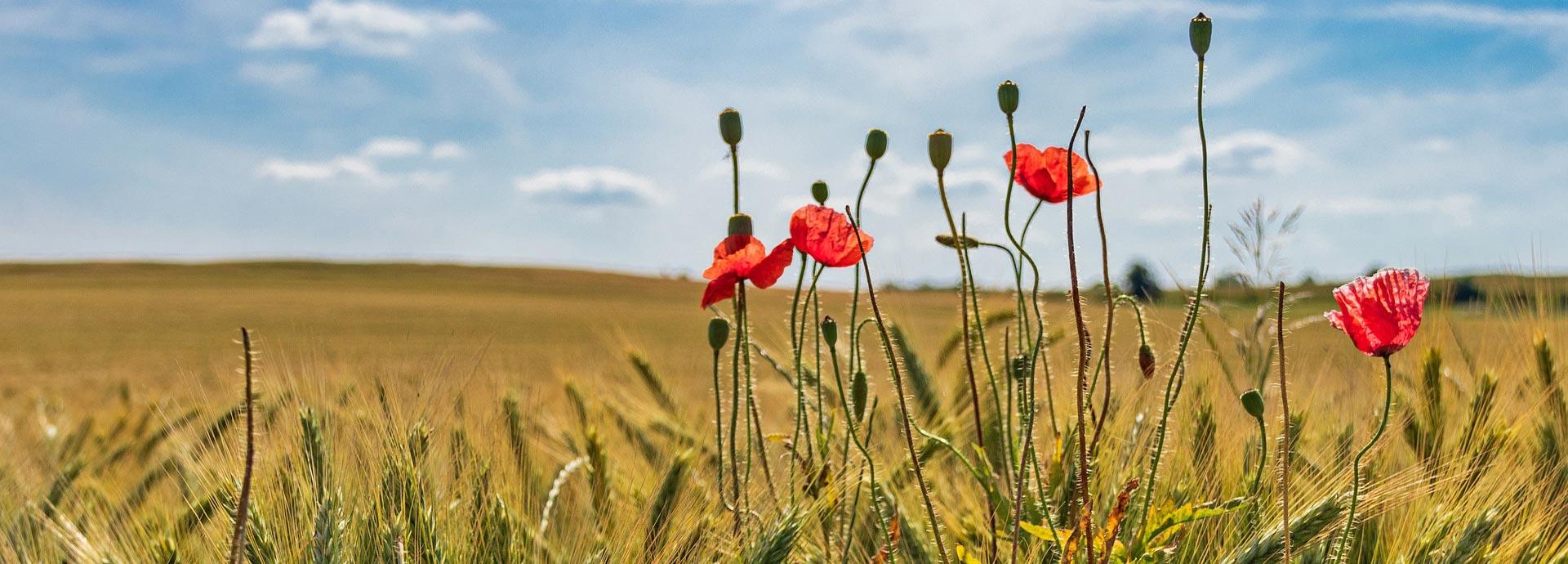 Klima-Bauern - Feld mit Mohn